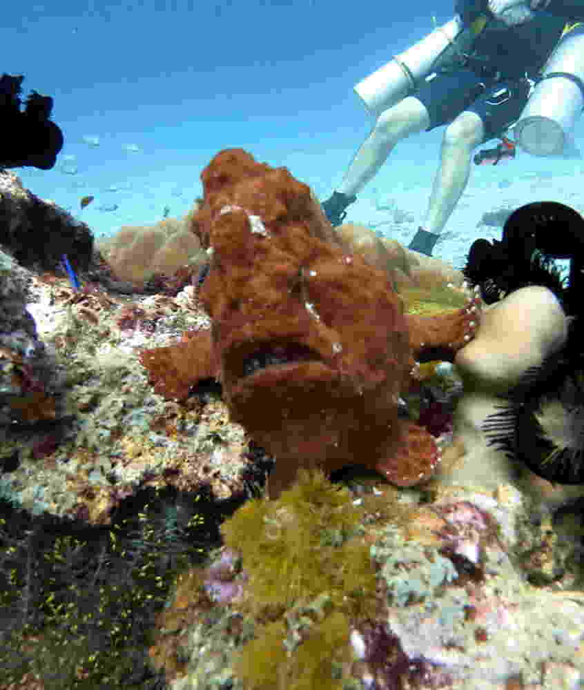 Photo  of frogfish at Racha Noi.