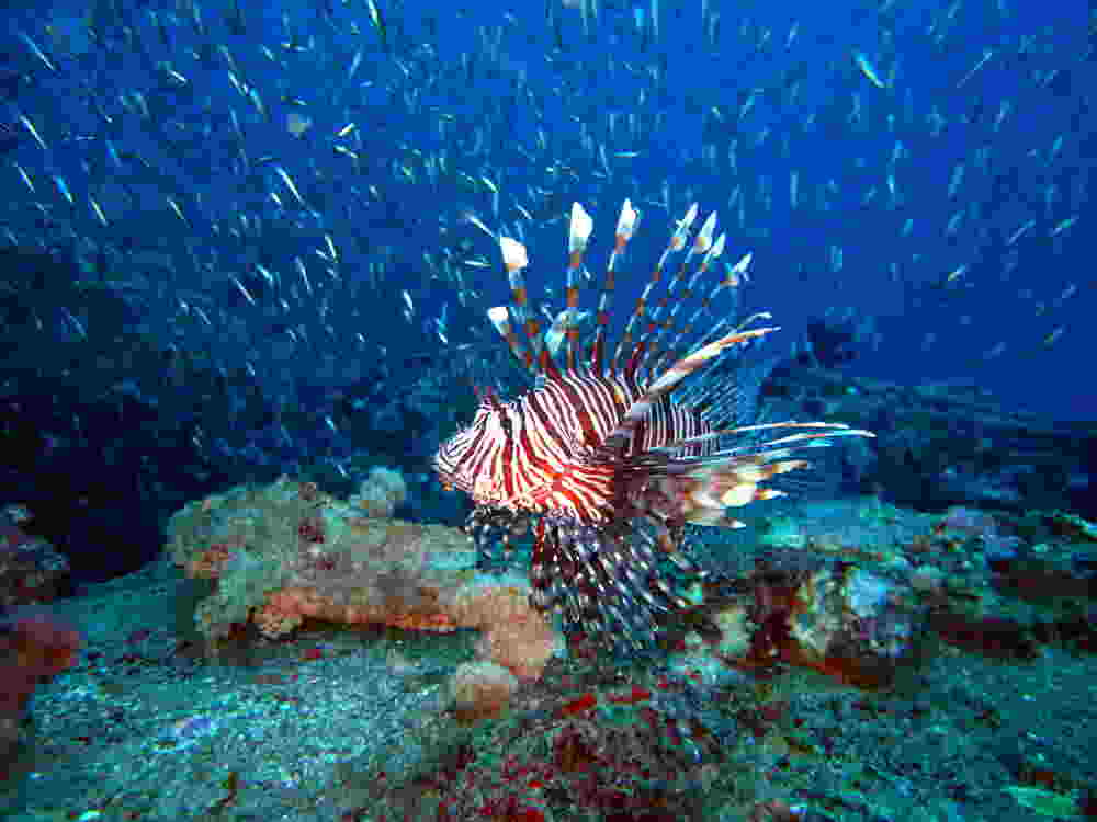 Photo of a lionfish with a scorpionfish at our Kata Beach housereef.