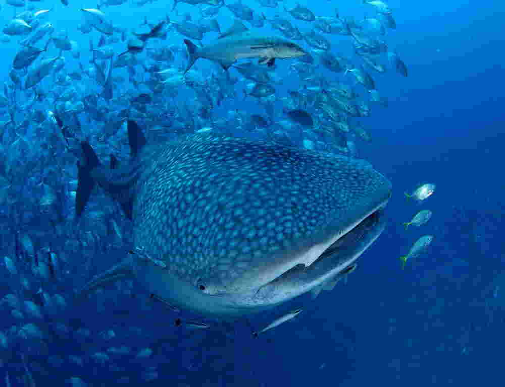 Photo of whaleshark at Richelieu Rock, Similans liveaboards diving with Phuket dash Scuba.